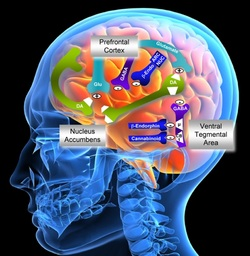 Is Sugar a Drug post_nucleus accumbens